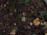 Geastrum fimbriatum image