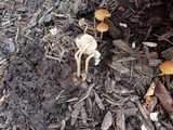 Agrocybe arvalis image