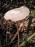 Bolbitius coprophilus image