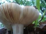 Russula carpini image