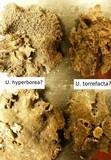 Umbilicaria torrefacta image