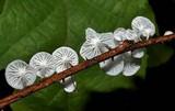 Marasmiellus candidus image