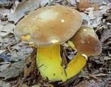 Boletus auripes image