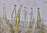 Inocybe subochracea image