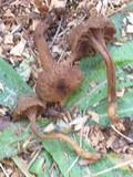 Hodophilus hymenocephalus image