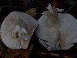 Tricholoma album image