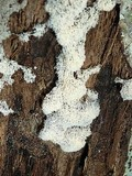Ceratiomyxa fruticulosa var. fruticulosa image