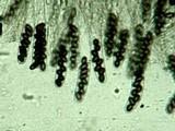 Coniochaeta scatigena image