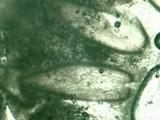 Ophiocordyceps amazonica image
