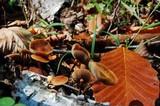 Hypholoma squalidellum image