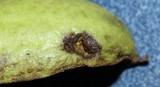 Fusicladium effusum image