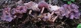 Gymnopus iocephalus image