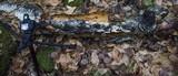 Inonotus obliquus image