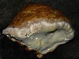 Fomitopsis schrenkii image