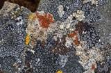 Caloplaca arenaria image