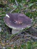 Russula olivacea image