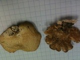 Polyporus alveolaris image
