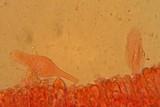 Pluteus roseipes image