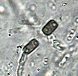 Hypoxylon rectangulosporum image