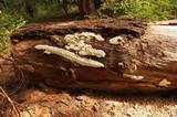Antrodia carbonica image