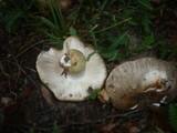 Russula insignis image