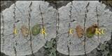 Pertusaria hemisphaerica image