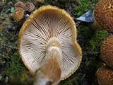 Gymnopilus fulvosquamulosus image