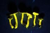 Cortinarius clandestinus image