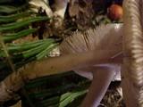 Amanita pachycolea image