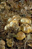 Cortinarius sebaceus image