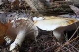 Hygrophorus flavodiscus image