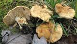 Hydnum umbilicatum image