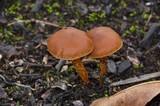 Cortinarius gentilis image
