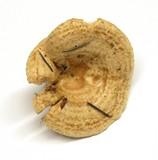 Lactarius subvillosus image