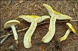 Hygrophorus lucorum image