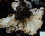 Bondarzewia occidentalis image