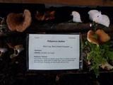 Royoporus badius image