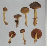 Cortinarius semisanguineus image