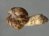 Cortinarius pinguis image