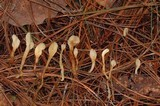 Spathulariopsis velutipes image