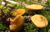 Suillus flavidus image