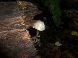Spinellus fusiger image