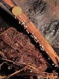 Lachnum virgineum image