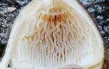 Crinipellis zonata image