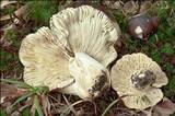 Russula viscida image