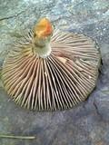Lactarius hatsudake image