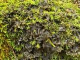 Leptogium burnetiae image