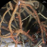Usnea pensylvanica image