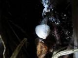 Cystolepiota seminuda image