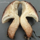 Gomphidius smithii image